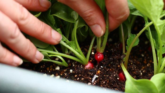 ラディッシュは土の中で大きくなります。そのため、赤い実の部分が混みあってしまってはラディッシュは大きくなれません。もったいないような気はしますが、混みあっていて、かつ生長が遅く、弱々しいラディッシュは手で抜き取って間引きましょう。
