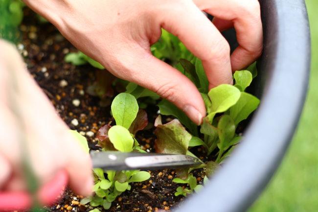 ベビーリーフは根の部分ではなく葉の部分を食べます。収穫した後に土を落とす手間や水洗いが楽に済むように、ハサミで根の部分を切るようにして間引き収穫をしましょう。