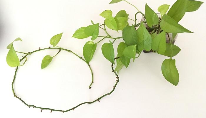 古い葉が落ち、間延びしてバランス悪くなったライムポトス。