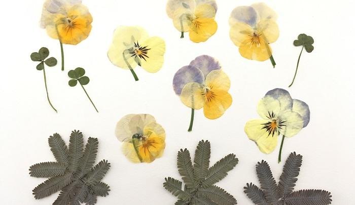 もちろん時間があるときには押し花を作ることもオススメです。長期間飾れるし、シーズン以外にもビオラを楽しめるのは嬉しいですね。下の写真は1カ月前くらいに押し花にしたものです。葉っぱはミモザと四つ葉のクローバーです。