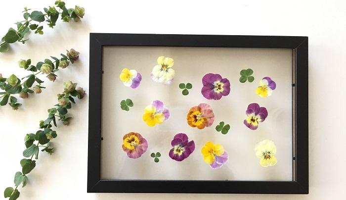 ビオラは沢山咲いているので、その日の気分で花びらを選んで配置して飾るのはとても楽しい作業です。両面ガラスのフォトフレームにただ並べて挟んだだけなのに透明感ある素敵な作品が簡単に作れます。