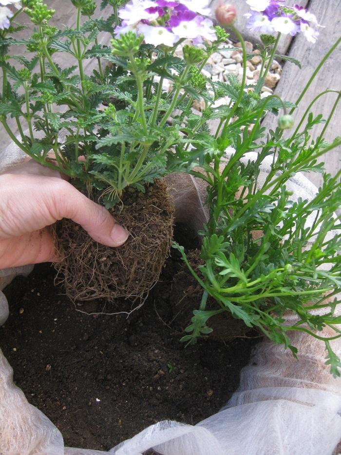 苗の配置を決めてから、苗をポットからはずして根を少しくずしながら植え付けます。植物が今美しく見える向きや、今後生長して伸びていく方向を考えながら植えていきましょう。  ※苗がぐらつかないように、苗と苗の隙間にしっかりと土を入れます。