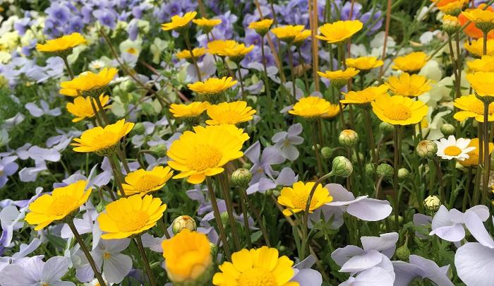 明るい黄色がポイントになるので寄せ植えにぴったり。花は日が当たると開き日が沈むと閉じます。