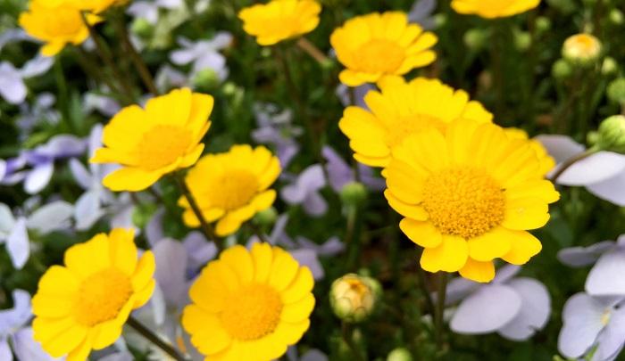 明るく春らしい黄色の小花を沢山付けます。