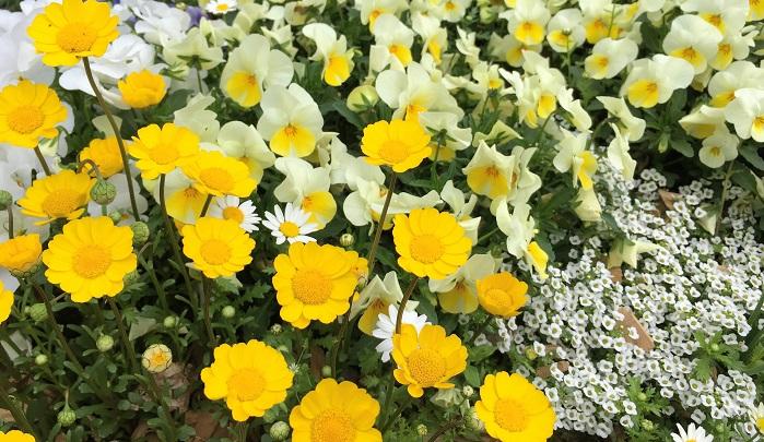 一度植えると毎年咲いてくれるのが多年草や宿根草。根付いてくれれば毎年楽しめるので魅力的なのですが、花の咲いていないオフシーズンの管理が難しく、いつのまにか無くなってしまった…枯らしてしまった…なんて経験をされている方も多いかと思います。  一年草の魅力は沢山の花を次々に咲かせ、植えてから長い期間、花期を楽しめるところです。種類も豊富なのでその年の気分に合った花選びが出来ます。毎年違うお花にチャレンジしてみたり、多年草と組み合わせてオリジナルの寄せ植えを作ってみたり。そして一年だけと思っていた草花が次の年もこぼれ種でひょっこり芽を出したりする嬉しいサプライズがあったりするのも一年草ならではの嬉しいあるあるです。  春~初夏まで花壇・ベランダを彩る一年草と言えばパンジーやビオラが代表的ですが、他にも沢山可愛いおすすめの草花があります。今回はそんな春の一年草をご紹介したいと思います。