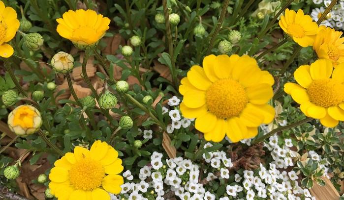 丸みのある花びらで絵に描いたような愛らしい花姿がかわいいですね!