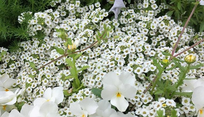 白色が主流ですがピンクや紫色もあります。こんもりと生い茂って成長するので寄せ植えの隙間などにも重宝して使えます。