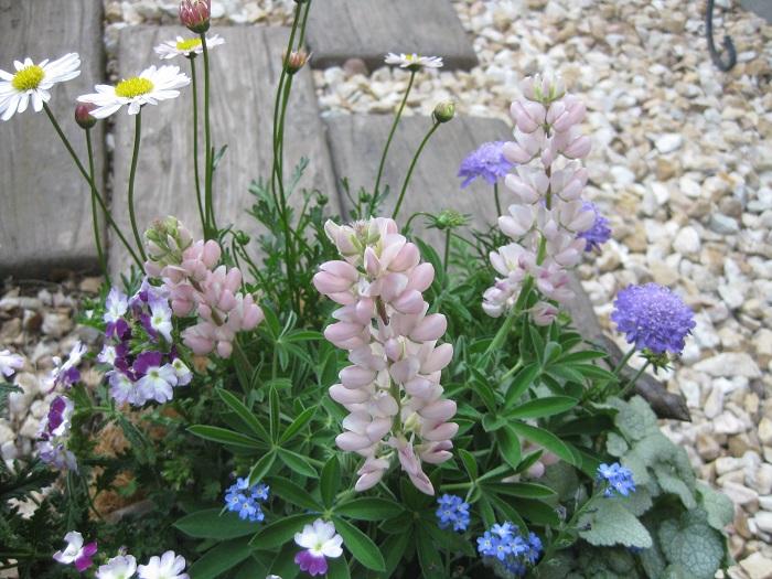 寄せ植えする苗を選ぶ時のポイントをお話しします。  まず、好きな環境が似ている植物を合わせることが基本です。(日あたり、水かげんなど)  それをふまえて、メインの花苗を選びます。→今回はルピナス(ピンク)  そして、寄せ植え全体のバランスを保ちながらも、花の形や葉の形、質感が異なる苗を合わせていきます。  さらに、背の高いものを入れて高低差を出したり、カラーリーフを合わせて寄せ植えにアクセントをつけることが大切です。