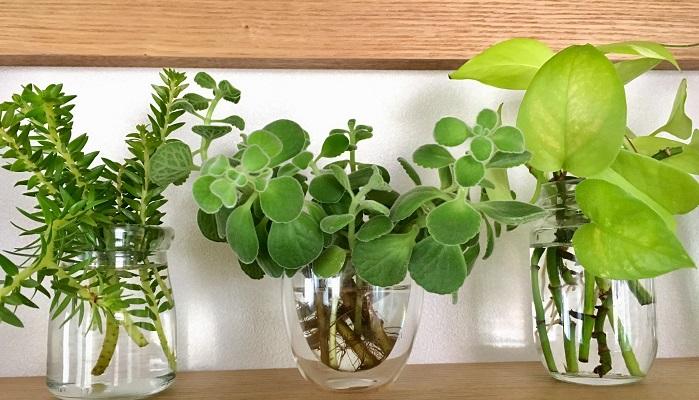 現在水栽培で育てている植物達。左からリポコディウム、アロマティカス、ライムポトス。