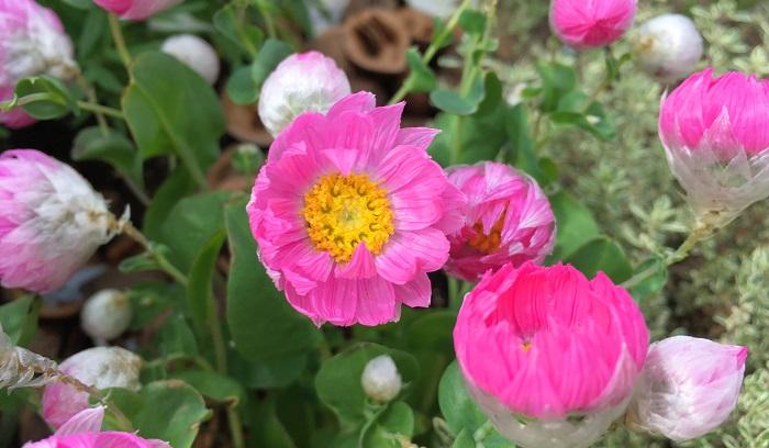 以前ご紹介した花かんざしと同じでカサカサした触り心地なので切り花やドライフラワーにも向きます。