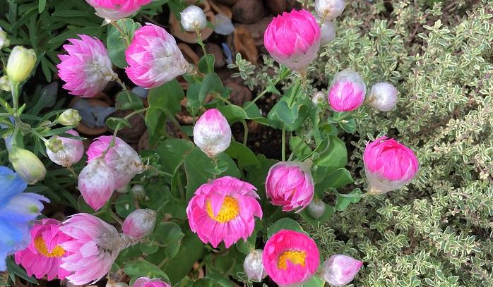 鮮やかなピンク色の花が次々に初夏まで咲き続けます。過湿を嫌うのでやや乾燥気味に育てます。