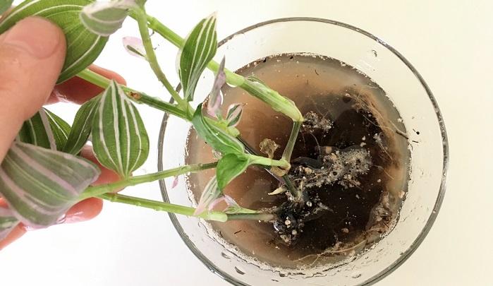 さらに水を入れたボールやお皿などを利用し根に残った土をやさしく洗い落とします。
