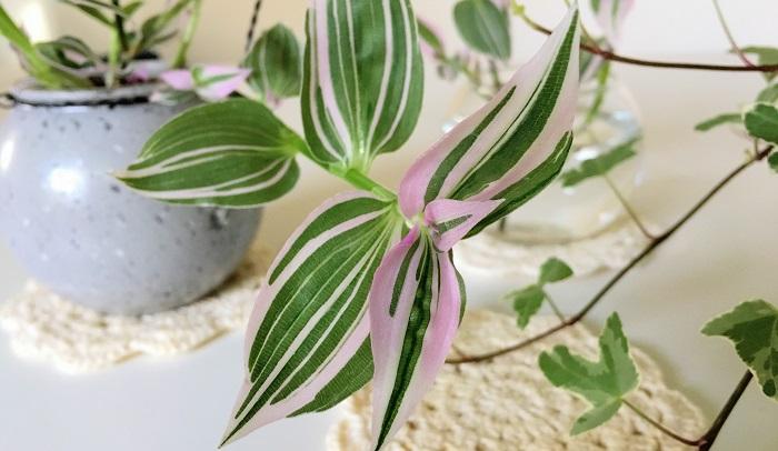 今回使用したトラディスカンティア、葉の模様が絵の具で描いたような綺麗な色合いでうっとりです。これからの生長が楽しみです!