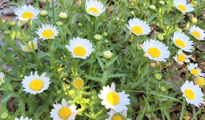 直径3~5cm位の小さなマーガレットのような花です。マーガレットは同じキク科ですがモクシュンギク属と異なります。