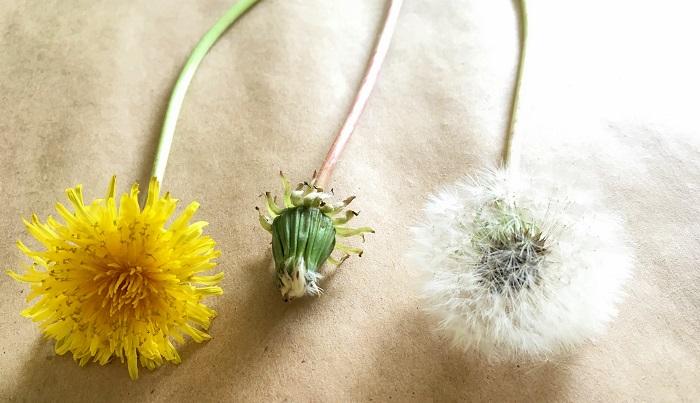 採ってくるのに一番ベストなのは真ん中の状態のものです。花が終わり、これから開いて綿毛になる一歩前の状態のものです。隣の綿毛は1日前に持ってかえってきたものがちょうど開きたてなので今からボトルフラワー用に使用します。