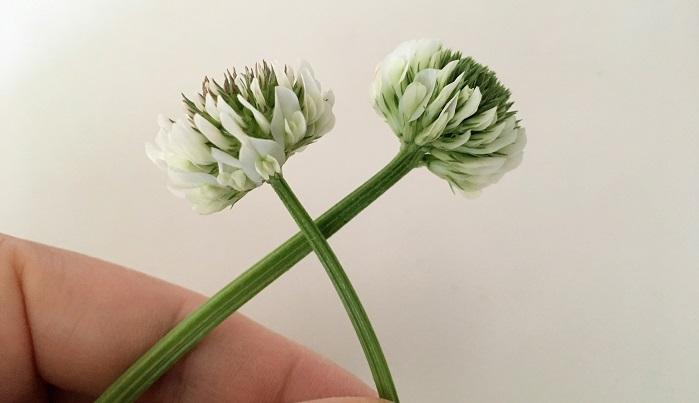 出来るだけ長めの茎の方が編み込みやすいです。まず2本を交差して持ちます。