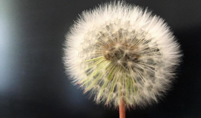 写真のように綺麗にまんまるの綿毛を使いたいところですが…採った矢先からふわふわ綿毛は飛んでいってしまいます。持って帰ってくる頃には綿毛は無くなって茎だけが残ってるなんてことになるかもしれません
