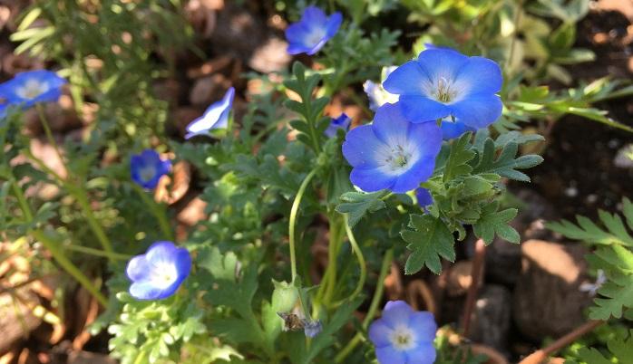 花がこんもりと地面を這うように生長します。