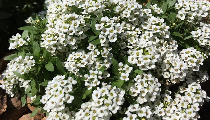 小さな花がカーペット状に咲き誇ります。別名の通り、ほんのり甘い香りがします。