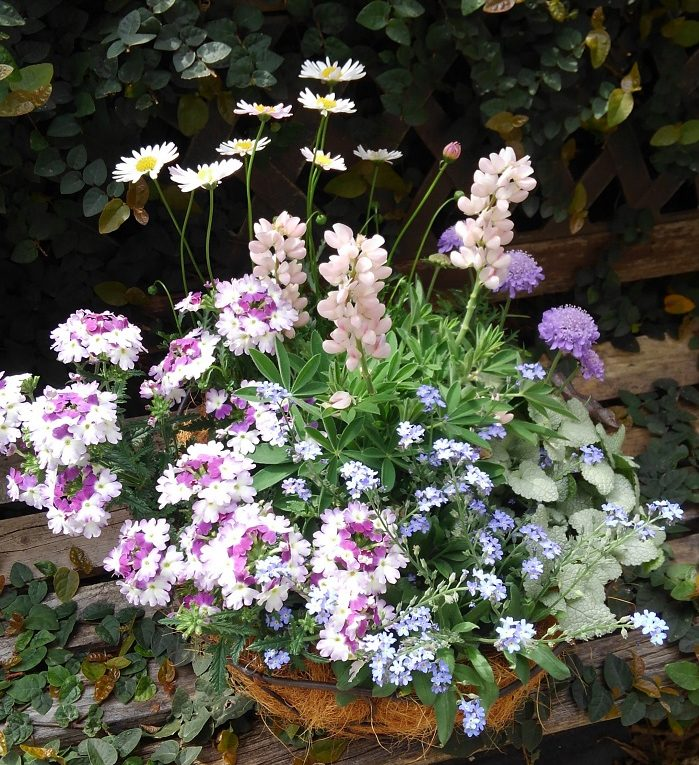 日が良く当たる風通しの良い場所に置き、土が乾いたら根元からたっぷりお水をあげます。枯れてしまった花や葉は取り除きましょう。  ひとつの苗だけが生長しすぎて美しくなくなった場合は切り戻してバランスをとります。切り戻しとともに追肥をすると次の花が咲きやすくなります。  春の寄せ植えはぐんぐん生長して次々に花が咲き、日々姿を変えるのでとても楽しめます。雨の日以外は毎日お水をあげます。  上手に育てれば3月から梅雨前頃まで美しい状態で楽しめます。ワスレナグサなどの一年草が枯れてしまったり、部分的に美しくなくなってしまった時は、寄せ植えの植え替えをして綺麗な状態に復活させましょう。