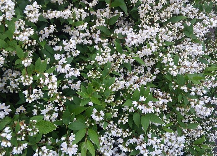 純白の小さな花を鈴なりに咲かせる姿がとても爽やかで美しいです。これから咲くつぼみの小さなふくらみもたまらなくかわいいですね。  ウツギ全般として、「秘密」という花言葉があります。