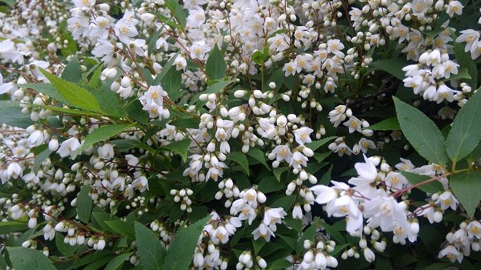ユキノシタ科の耐寒性落葉低木。開花は5~6月で、日向と水はけの良い肥沃な用土を好みます。
