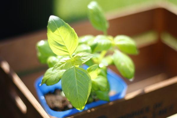 肥料がたくさん必要な野菜は、肥料をそれほど必要としない野菜の余分な肥料分を吸収してくれます。また、日照を多く必要とする野菜の根元に、日陰でも育つ野菜を植え付けることで、お互いを補うことができます。