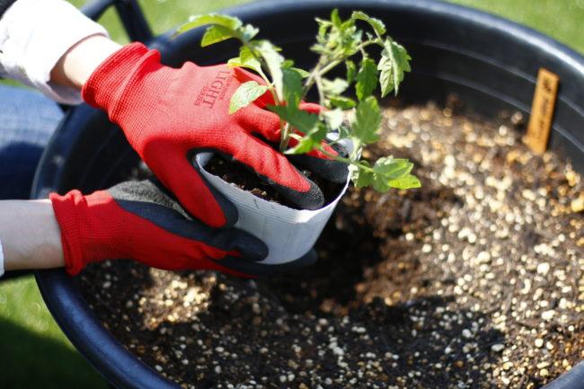 〜立夏〜 春分と夏至の中間の日です。4月下旬に始まった苗の植え付けも、天候を見ながらこの頃には済ませましょう。