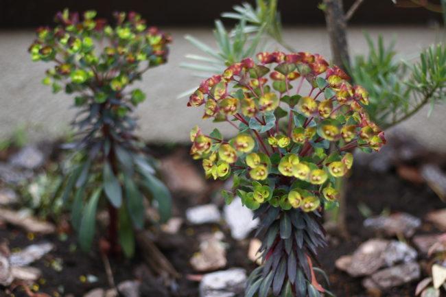 もちろんLOVEGREEN編集部のお庭にも他の種類のユーフォルビアが咲いていますよ。