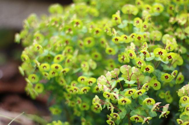 ユーフォルビアの花は、一般的な花と比べてとても個性的でひときわ目を引く植物です。小さい花のまわりに赤や黄色の苞が広がります。