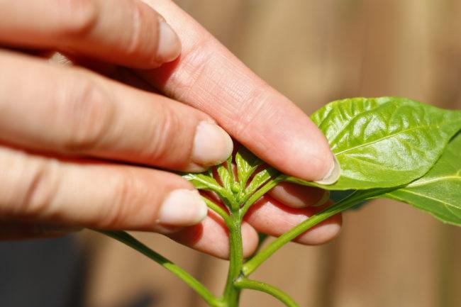 蕾か花が付いている。パプリカやピーマンは、この一番果の下のわき芽を2本残しますので、仕立てる目安としてください。