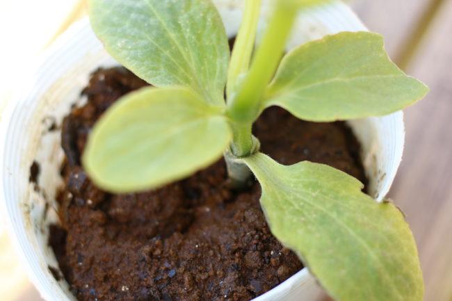 主に野菜の苗ですが、せっかく植えたばかりの苗が、あるときぱったりと倒れていたるときや、茎にビッシリとアブラムシがついていたり要注意ポイントです。  (主な害虫~ネキリムシ、アブラムシ、ナメクジ)