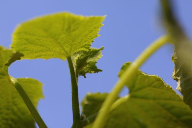 葉の裏もしっかり見てあげましょう。  いいお天気♪青空に映える綺麗な緑ですね♪