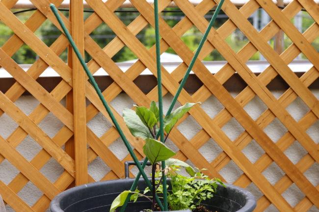 トマトとは違った3本仕立てになります。主茎、伸ばしたわき芽(側枝)に沿うように支柱を地面に刺します。  ベランダなどでスペースが狭い場合は、主茎とわき芽を1本だけ伸ばす「2本仕立て」にすると少しコンパクトにまとまります。