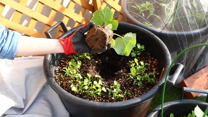 お花と違って野菜の根鉢は崩しません。根を傷つけないように気を付けましょう。