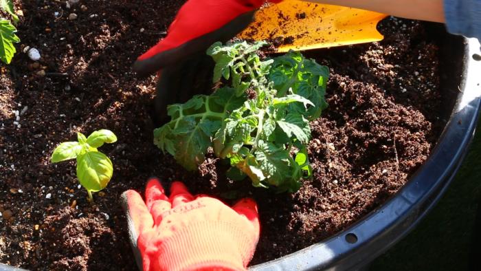 2. プランターに苗と同じくらいの穴を開け、ミニトマトの苗を軽く手で押さえ根鉢を崩さないように植え付け、苗の周りを少し凹まして、苗にしっかり水が浸透するようにしましょう。  この時注意することは、ミニトマトは実の出来るところがいつも同じ方向になるということです。花が向いている方を手前にして収穫しやすい場所に植え付けましょう。