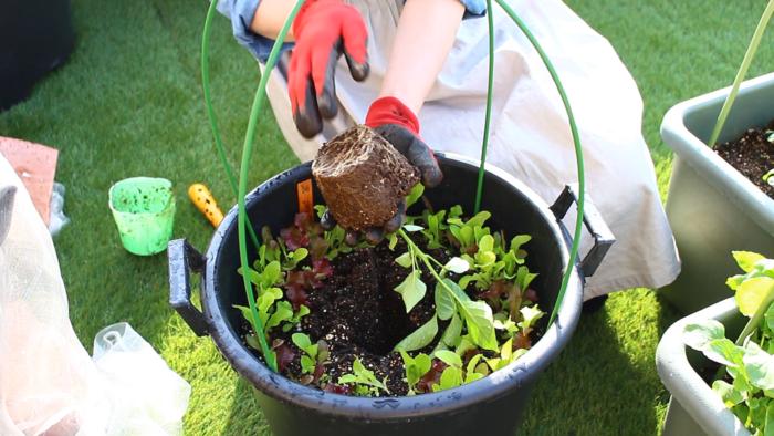 2. プランターに苗と同じくらいの穴を開け、苗を軽く手で押さえ根鉢を崩さないように植え付けます。  お花と違って野菜の根鉢は崩しません。根を傷つけないように気を付けましょう。