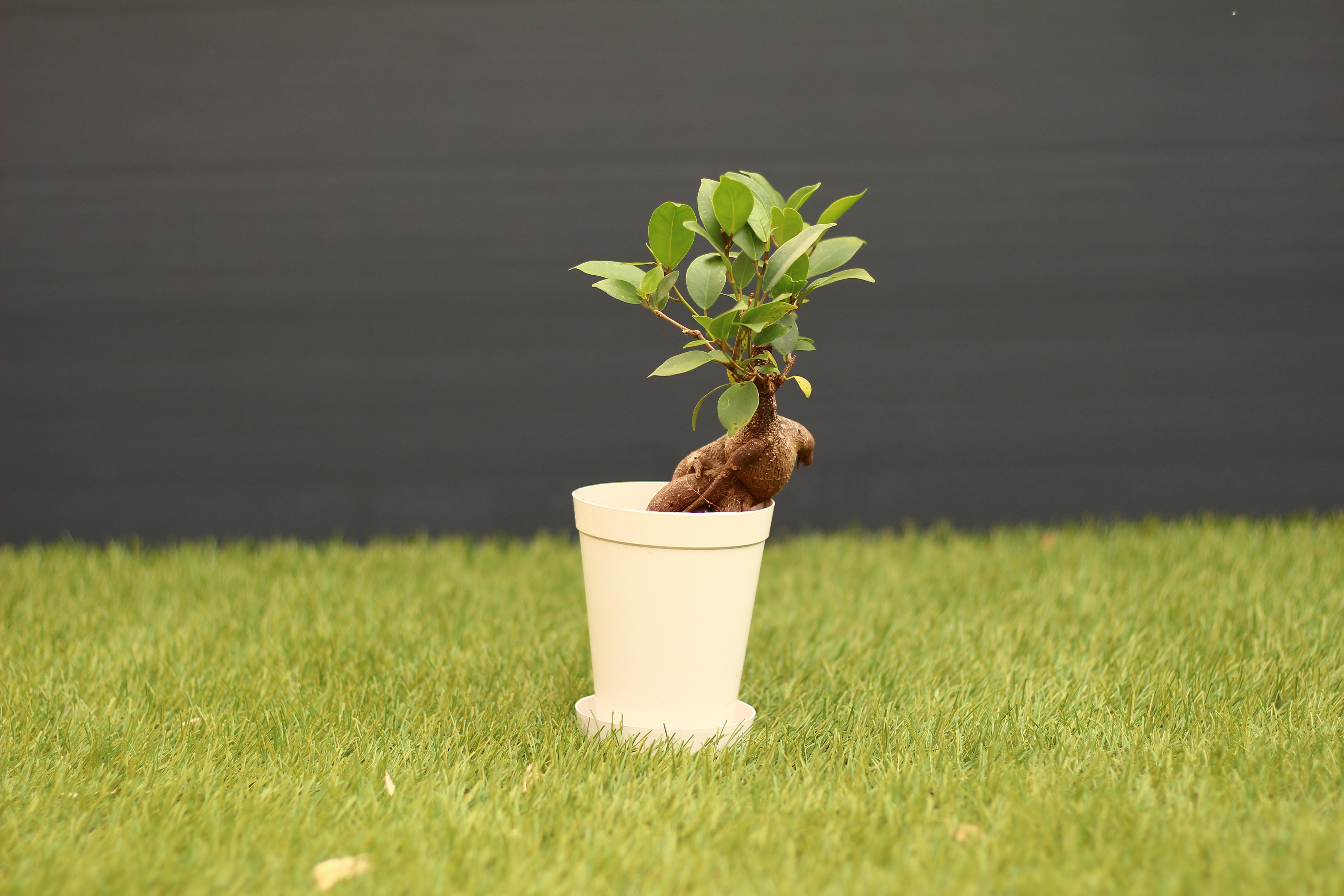 金運をアップさせるとも言われているガジュマルは乾燥にも強く人気のある観葉植物です。100均に売られているガジュマルは小さいですが、とても丈夫なので心配する必要はありません。