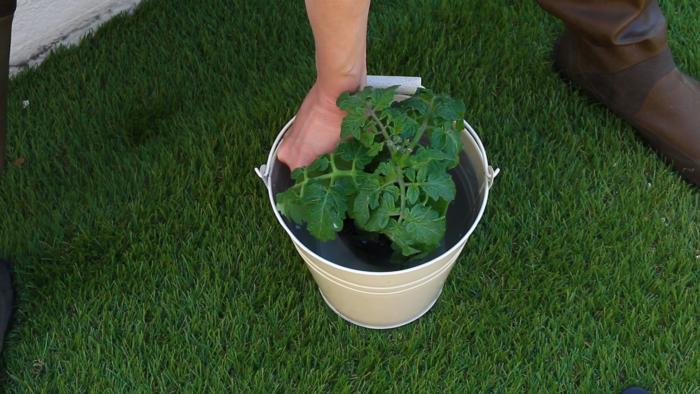1. ミニトマトの苗に充分水分を与える。  バケツに水を用意して苗にしっかり水を吸収させてください。