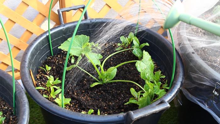 5 最後はお水をしっかりあげます。  植えたばかりの苗は土に活着するまでに少し時間がかかります。その際根が乾燥してしまわないためにも、植え付けから1週間位はしっかりと水を与えます。お水の代わりに病害虫予防のためにニームを希釈したものをかけてもいいでしょう。