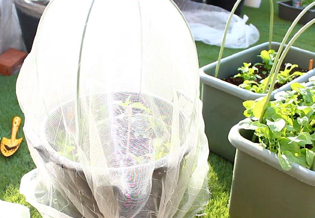 まだ苗が小さいので、寒冷紗に入るうちは出来るだけ中に入れて育てましょう。  パプリカを植え付けたばかりの日中は、だんだんと暖かい季節になりますが、日が暮れると気温は下がります。害虫対策だけでなく、寒さ対策のためにもこの時期は寒冷紗の中に入れてあげましょう。