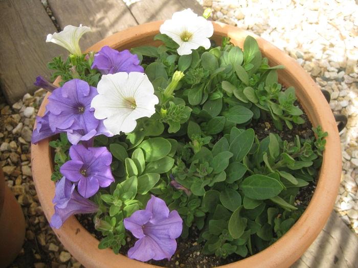 さらに数日後には、ピュアホワイトも咲き始めました。これからどのように咲いていくか楽しみです。  今後は、脇芽を増やして花芽を増やすため、鉢の外側に伸びてきた枝を一度カットする作業をしていきます。サフィニアがボリュームたっぷりでふんわりと咲く寄せ植えを目指すため、花が咲いていても、可愛そうと思わずに一度カットしてみましょう。  カットした先に花が咲いている時は、花瓶に挿して部屋に飾るのもおすすめです。刈り込んだ後と、月に1回は肥料をあげます。  今後も育つ様子を報告していきたいと思います!