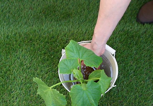 バケツに水を用意し、そこに苗を入れ水に浸します。もしくは、ジョウロでたっぷり苗に水をあげて下さい。