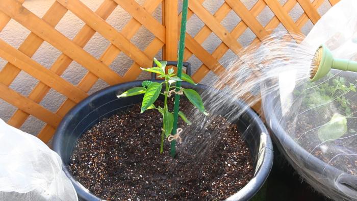 5. 最後はお水をしっかりあげます。  植えたばかりの苗は土に活着するまでに少し時間がかかります。その際根が乾燥してしまわないためにも、植え付けから1週間位はしっかりと水を与えます。