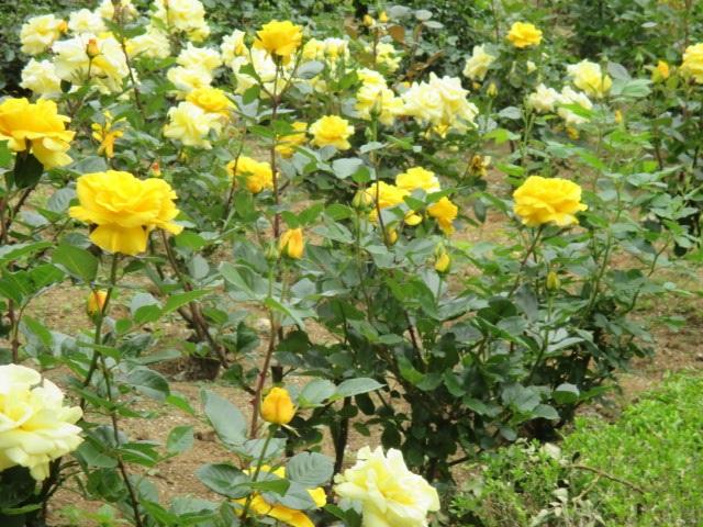 バラの数も面積も見応えたっぷりの与野公園のバラ園ですが、なんと入園は無料!開花シーズンに何度も足を運べますし、バラ園を出れば公園の敷地内に遊具や広場もあるので子供連れでものんびりとお花を楽しむことができます。