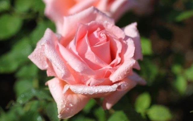バラはその豪華な美しさと芳香で花の女王ともいわれ、紀元前の昔から人々を魅了してきました。愛と美の象徴ともいわれ神話や宗教、芸術や文学にも数多く登場し、いつの時代にも文化の中心に咲き続けています。バラ科・バラ属の落葉性の低木・花木で、その多くは葉や茎にトゲを持ちます。樹形からブッシュローズ(木立ち性)、シュラブローズ(半つる性)、クライミング・ローズ(つる性、つるバラ)の3タイプに分けられています。