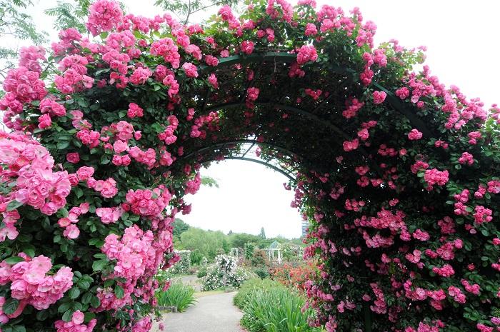 春のピーク時にはあふれんばかりのバラが咲き乱れます。まるで天国にいるみたい!