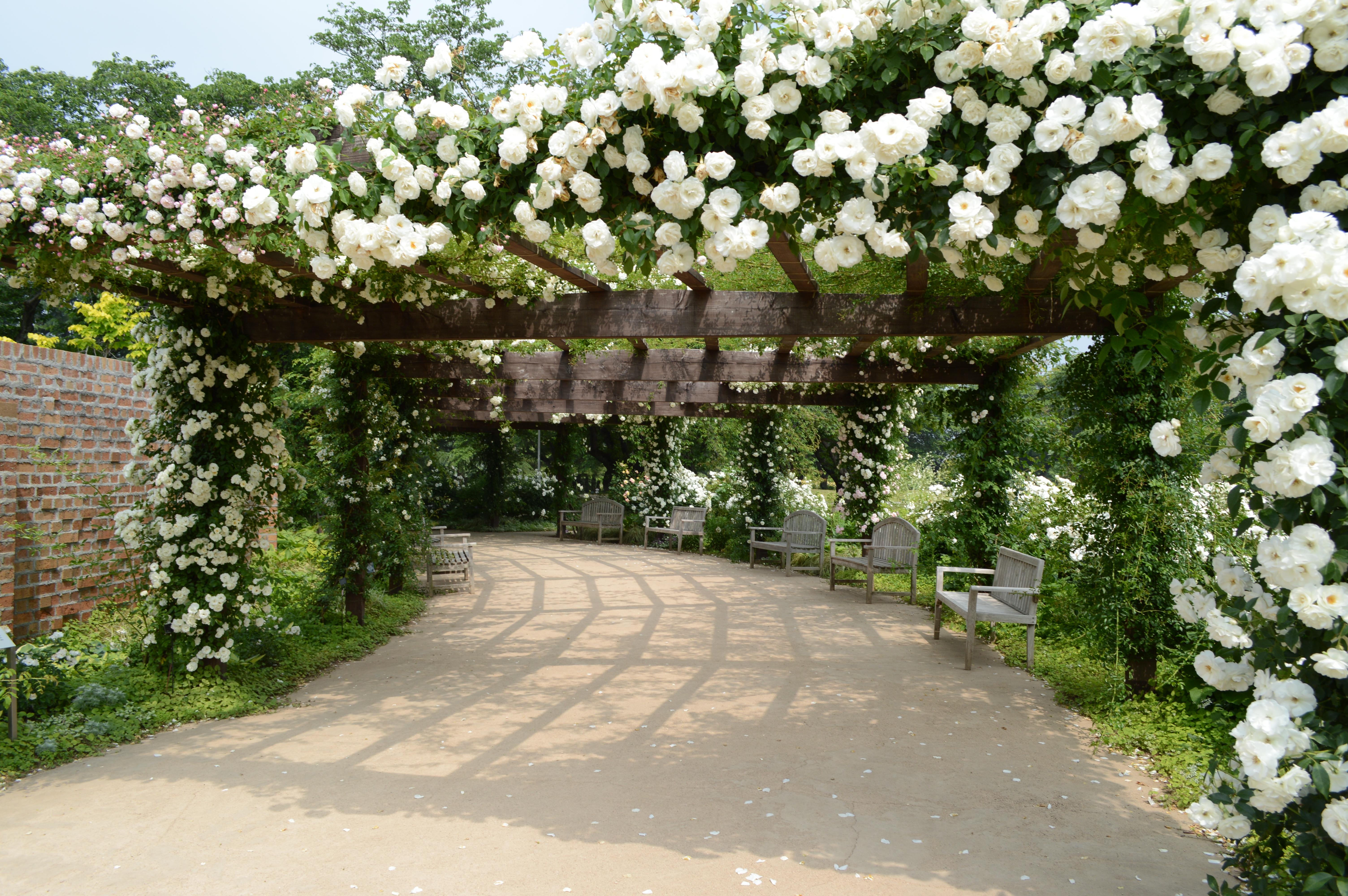 バラの天蓋。初夏の日差しと白いバラの花がさわやかです。