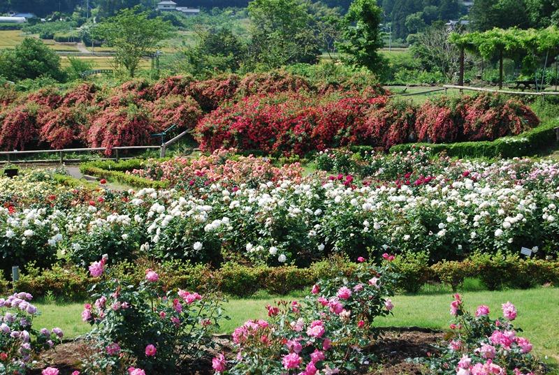 ボタン園・シャガ園・アジサイ園・やまゆり園・ダリア園・福寿草園・温室のベゴニア・ハイビスカスなど、多種多様な草花を楽しむことができます。四季折々に訪れて、バラのほかにも自分のお気に入りの花を見つけたいですね。