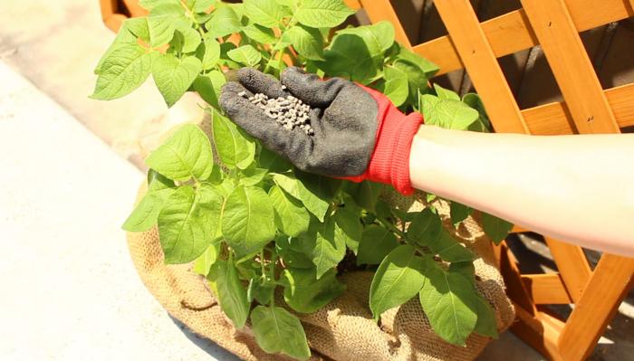 元気に育った種イモが花芽をつけ花を咲かせる頃、2回目の追肥の時期になります。(ジャガイモの花が咲かない場合もありますので、土寄せのタイミングで追肥をしましょう。)